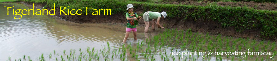 Tigerland Rice Farm - eco-vacation in rice planting and harvesting, the Karen hill tribe way